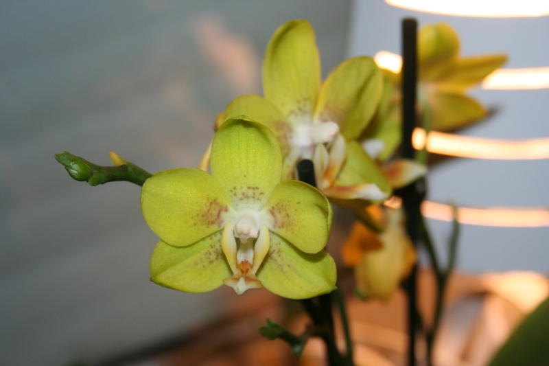 phalaenopsis hybride jaune vert - Page 2 Img_8013