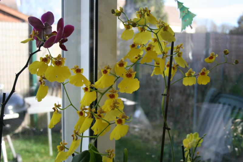 oncidium pluie d'or - Page 3 Img_8117