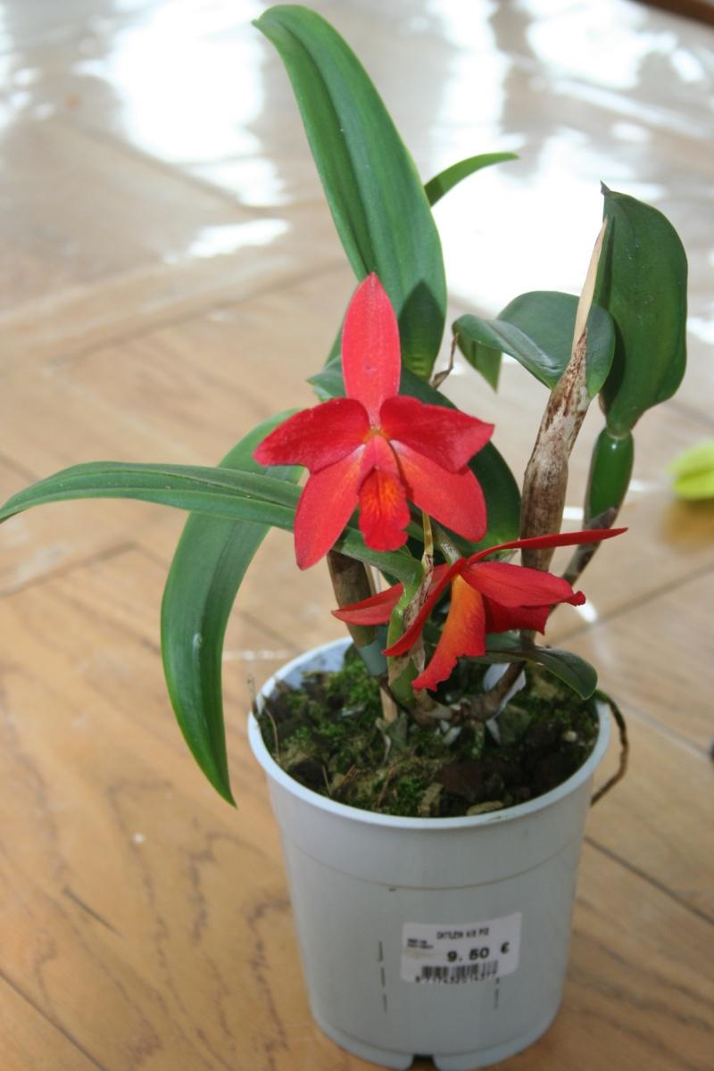 cattleya hybride rouge : le pti dernier  Img_8124