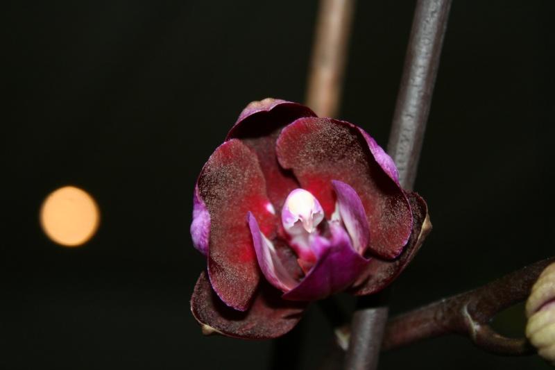 doritaenopsis happy angel Img_8134