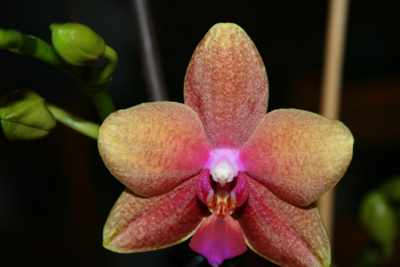 phalaenopsis magical Img_8211