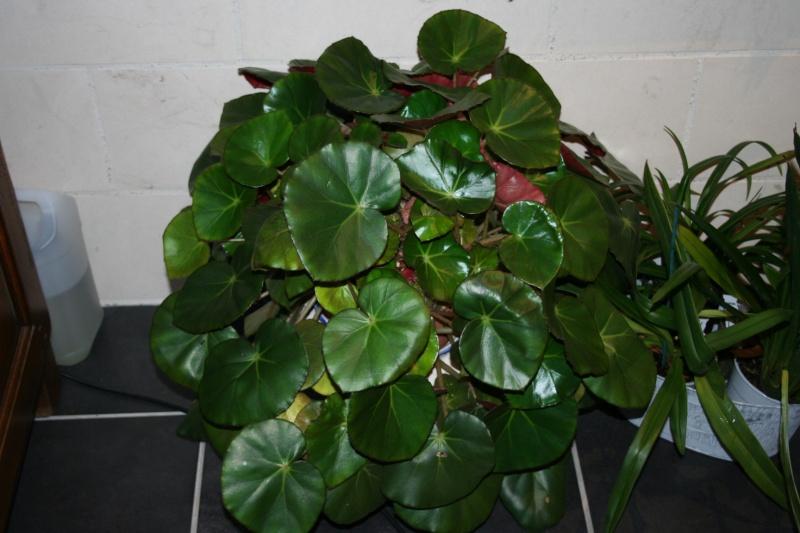 Bégonia 'erythrophylla' - Page 8 Img_8221