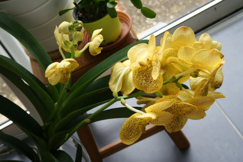 vanda sunanda magic yellow - Page 2 Img_8325