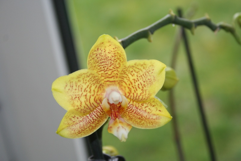 phalaenopsis jaune tigré Img_8326