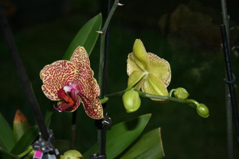 phalaenopsis dazzle - Page 2 Img_8331