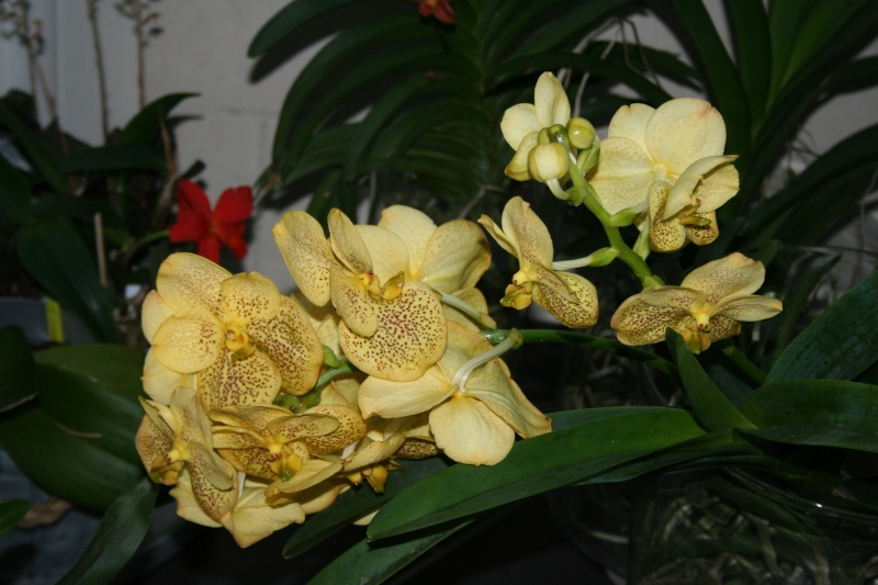 vanda sunanda magic yellow - Page 2 Img_8410