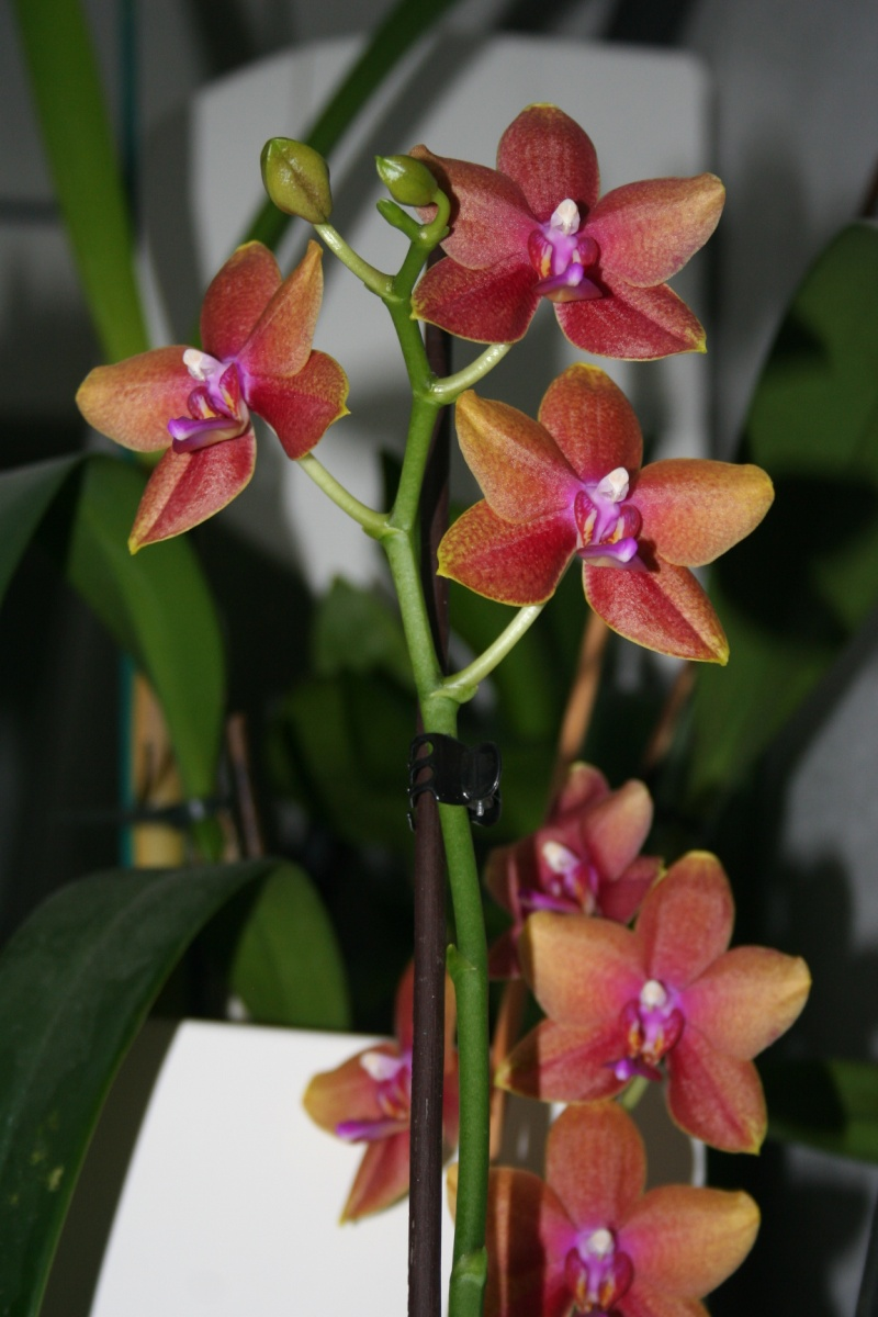 phalaenopsis magical Img_8413
