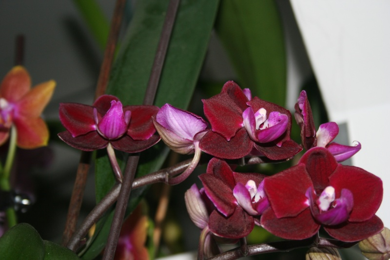 doritaenopsis happy angel Img_8414