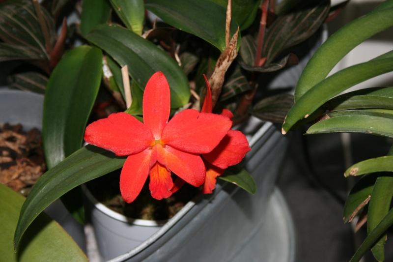 cattleya hybride rouge : le pti dernier  - Page 2 Img_8415