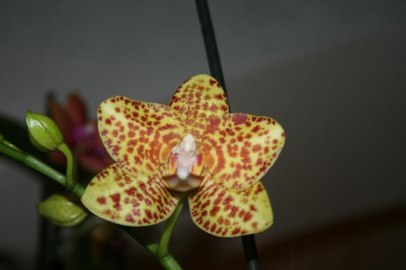 phalaenopsis calistyle Img_8431