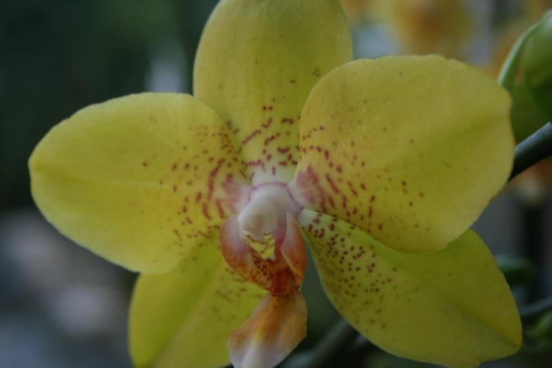 phalaenopsis jaune Img_8610