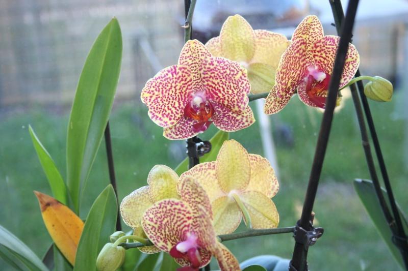 phalaenopsis dazzle - Page 2 Img_8615