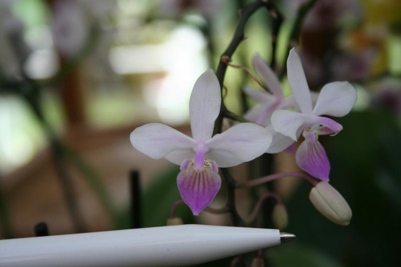 phalaenopsis venus (equestris x lindenii) Img_8620