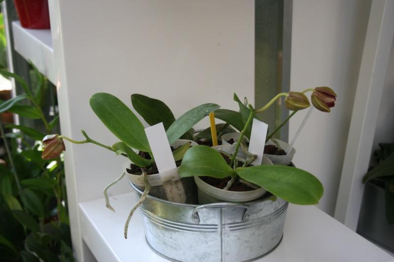 phalaenopsis miva midi libre Img_8631