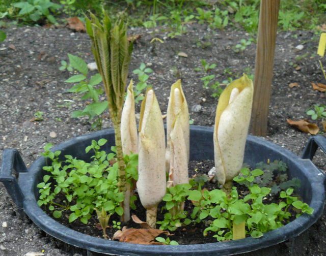 Amorphophallus bulbifer Bota_a10