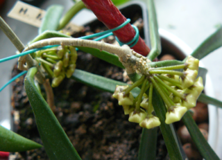 Hoya longifolia Longif10