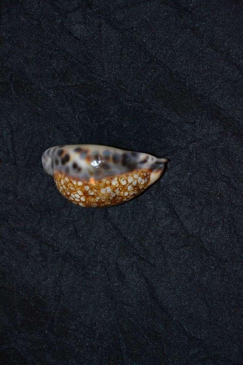Cypraea (Mauritia) histrio   Gmelin 1792 210