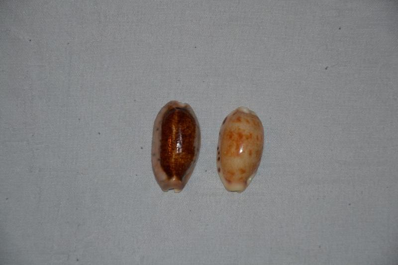 Cypraea caurica Cauric10