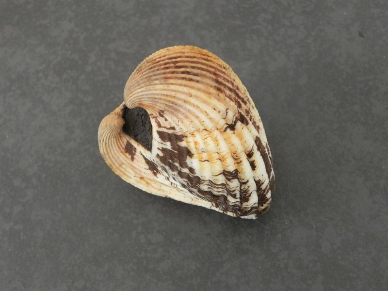 Tegillarca aequilatera - (Dunker, 1868)  Dscn5310