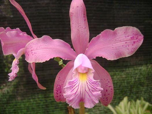 Photos d'orchidées inédites   10134810