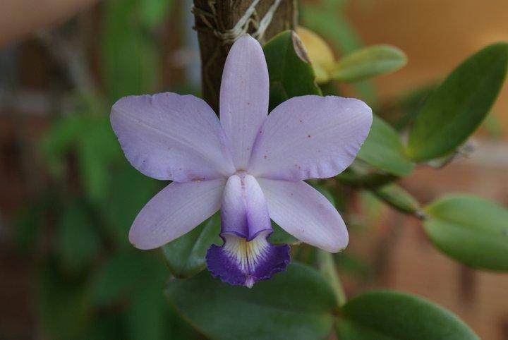 Cattleya violacea 18062710