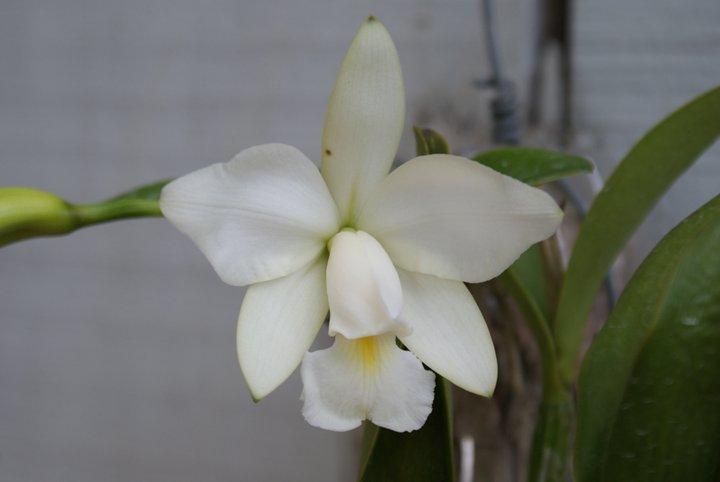 Cattleya violacea 18062711