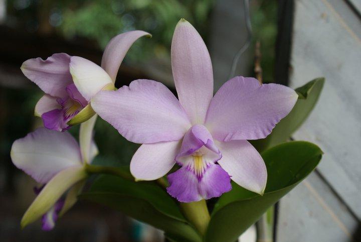 Cattleya violacea 18062713