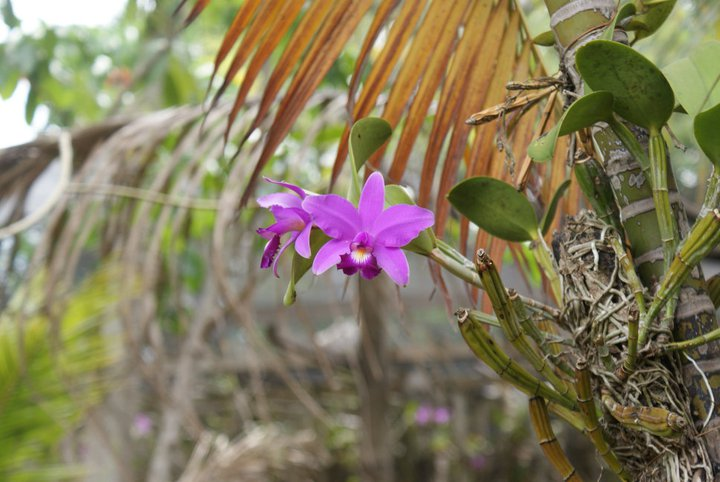 Cattleya violacea 19661910