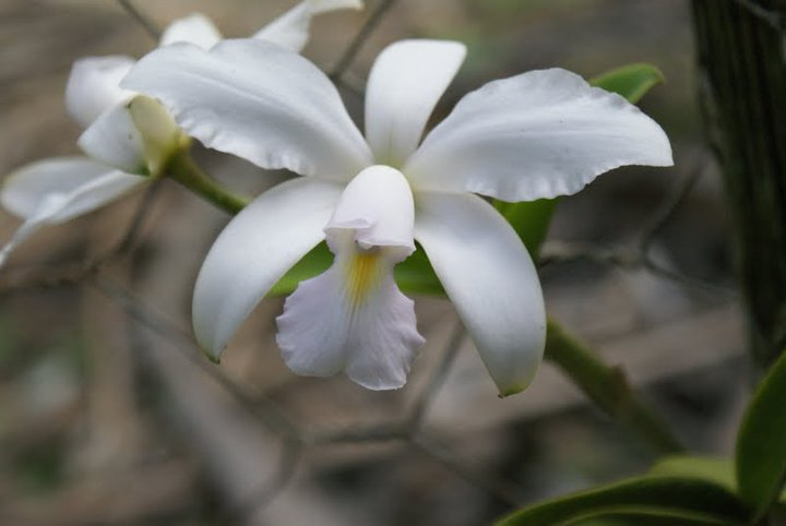 Cattleya violacea 19726210