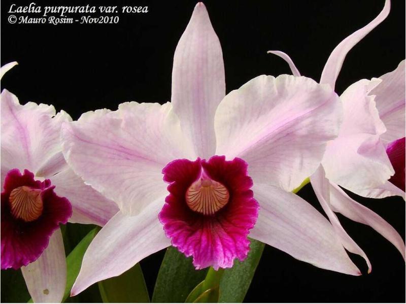 Laelia purpurata var. rosada 1_capt11