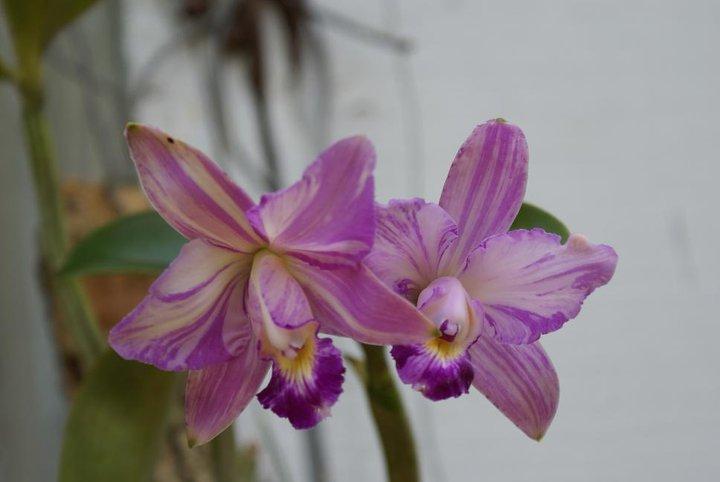 Cattleya violacea 20504911