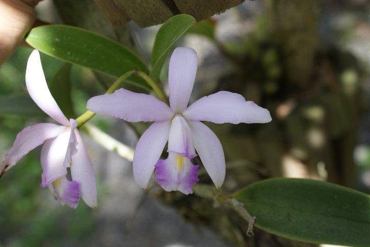 Cattleya violacea 20782710