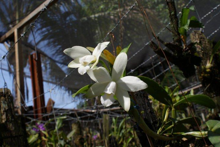 Cattleya violacea 20856710