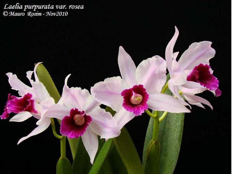 Laelia purpurata var. rosada 2_capt10
