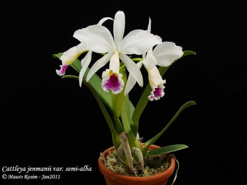 Cattleya jenmanii f. semi alba 53677510