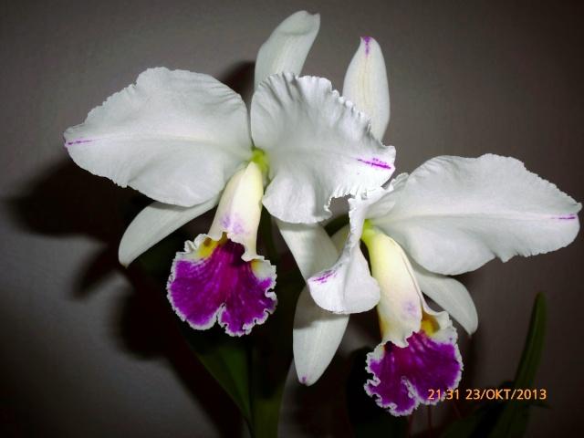 Cattleya labiata - Seite 2 Dd11