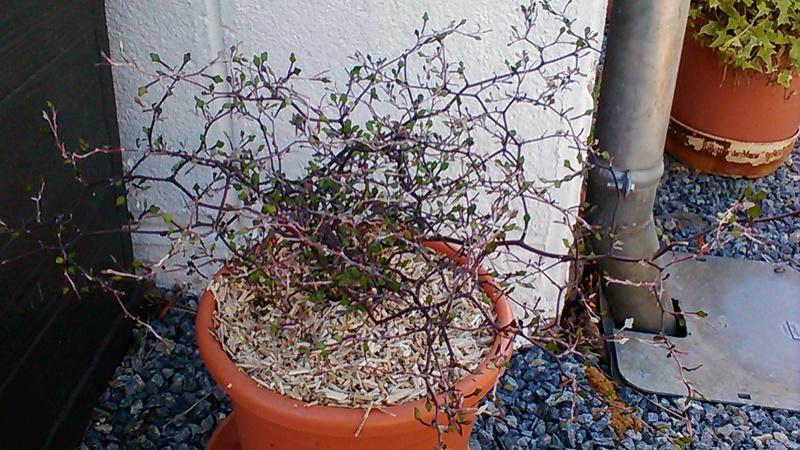 corokia cotoneaster P_201144
