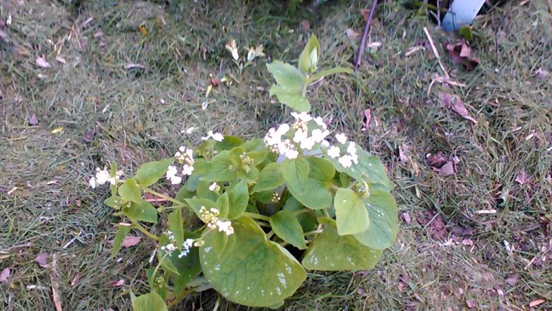 brunnera macrophylla ou myosotis du caucase - Page 2 P_201742