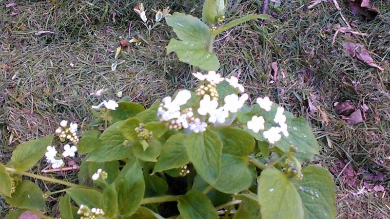 brunnera macrophylla ou myosotis du caucase - Page 2 P_201744