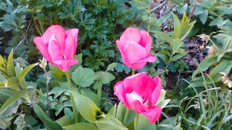 tulipe 2016 à 2019 - Page 4 P_201774