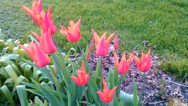 tulipe 2016 à 2019 - Page 4 P_201776
