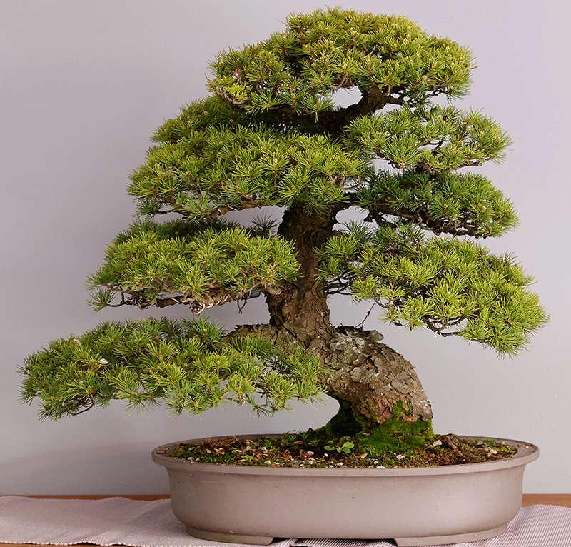 Pinus Parviflora kokonoè 2007 and 2014 Dscf2713