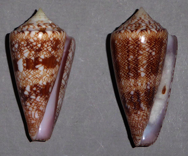Conus (Cylinder) glorioceanus  Poppe & Tagaro, 2009 Glorio12