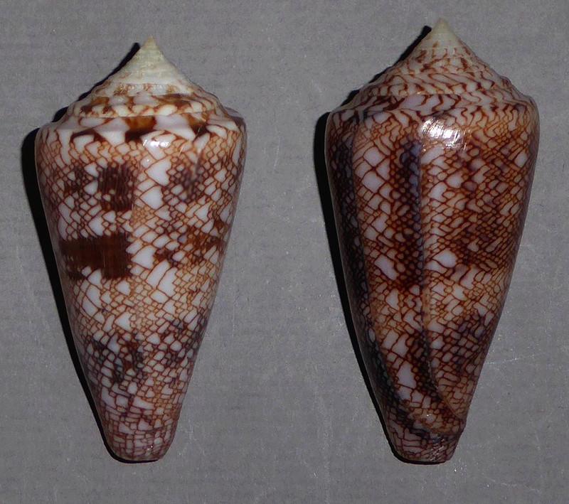 Conus (Cylinder) glorioceanus  Poppe & Tagaro, 2009 Glorio13