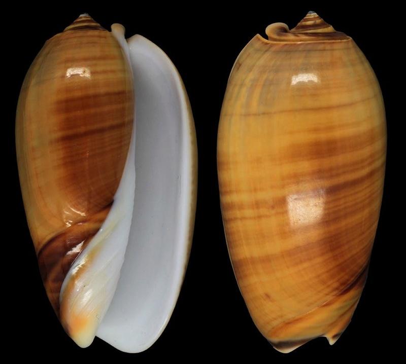 Viduoliva vidua f. cinnamonea (Menke, 1830) Oliva-10