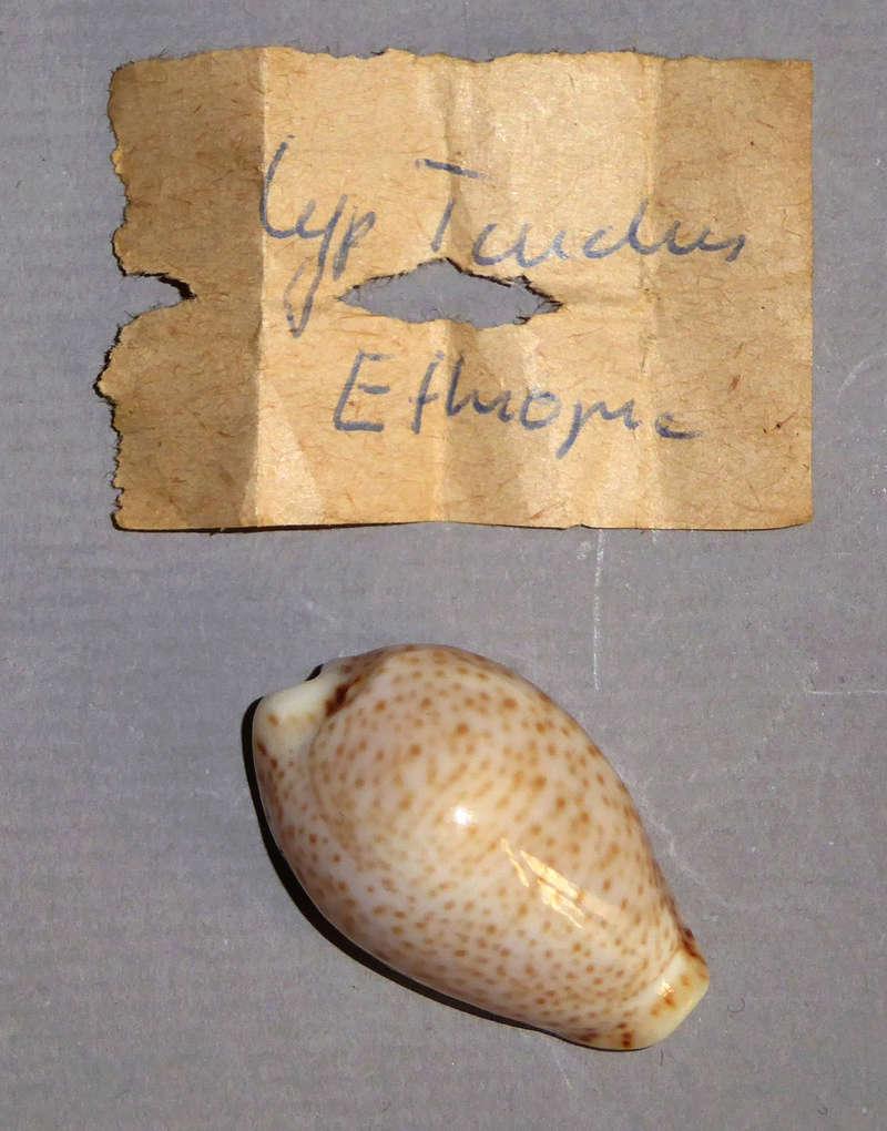 Naria turdus - (Lamarck, 1810) - Page 3 P1040910