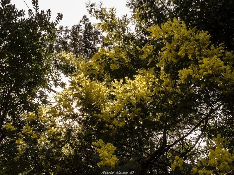 Entre océan, érosion, bassin et mimosa (Rando Cap Ferret - 23/02/14) P1130916