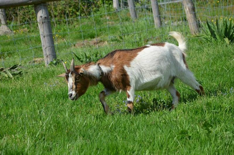 Petit jeu Deviner les nom de vos chèvre avec photo  - Page 2 Pypita10
