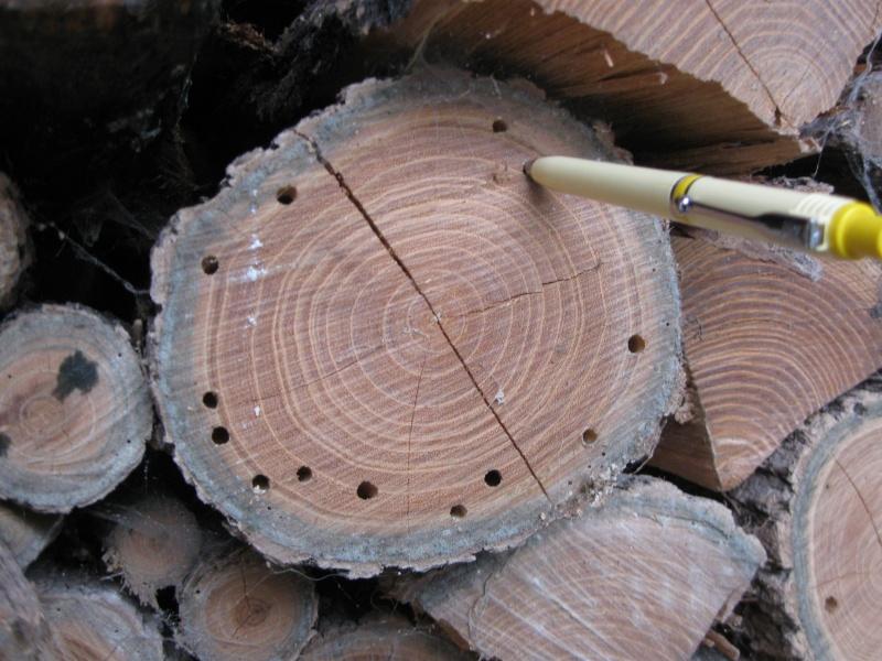 Parassiti della legna (camole, tarli e affini)  - Pagina 2 Trp11