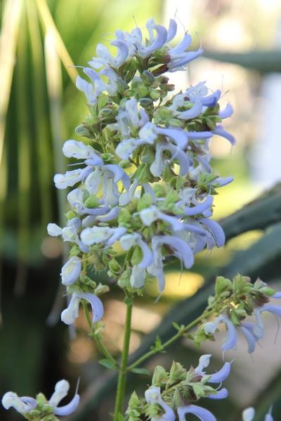 Salvia ? et Poliomintha longiflora [identification non terminée] Salvia11